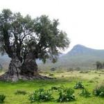 Old Olive tree.jpg_SIA - JPG - Fit to Width_462