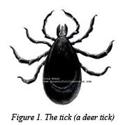 Figure 1 - The tick (a deer tick)
